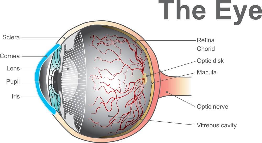 describing the eye, macula