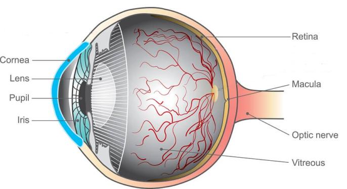 retina macula